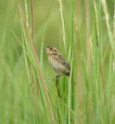 JuvenileSparrow - Copy