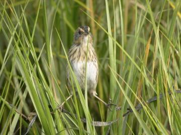 SparrowInGrass
