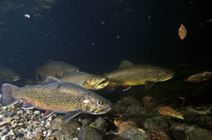 Cold enough for ya? Eastern brook trout require water below 68 degrees Fahrenheit for successful reproduction. Credit: USFWS.