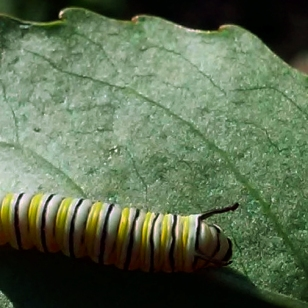 A Monarch caterpillar on a milkweed plant at Silo City in August, 2015.