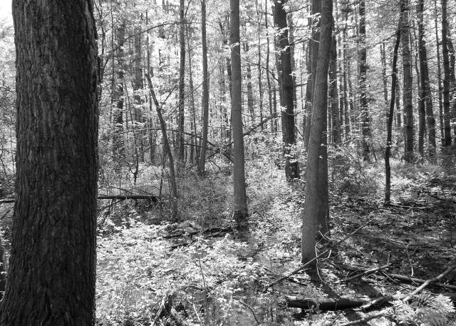 "Woods in Black and White. ""This is my favorite picture because I like how the forest looks in black and white. I also like how all the light makes the forest stand out. It gives a different view of the plants and trees."" Credit: Kareema Wallace, McKinley High School, Buffalo NY"