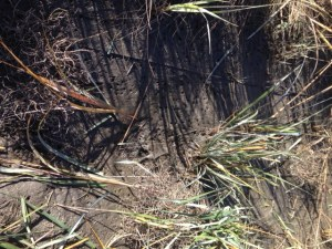 Accumulation of sediment and marsh grass, or Spartina alterniflora, colonization in a remediated ditch in summer 2015 (less than 1 year from initial treatment).
