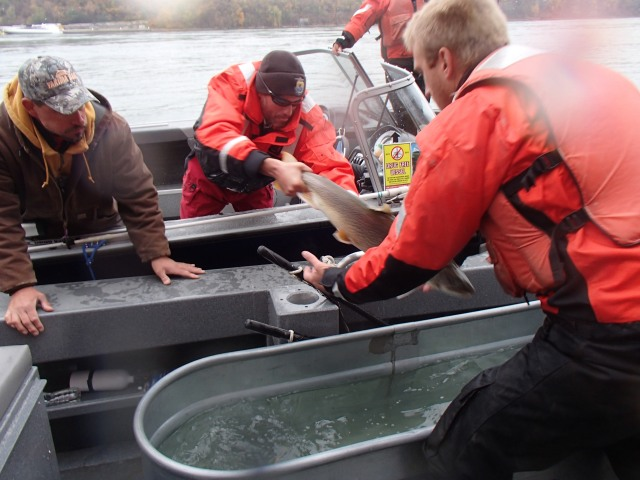 After collecting the lake trout, the charter captain motored us over to the Linneaus and we transferred the trout on board to be measured and have tags implanted. Photo credit: USFWS