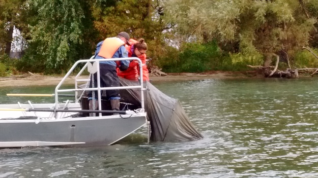 Biologists pull a paired fyke net out of the upper Niagara River. The nets are set overnight in sample locations. Photo credit: USFWS