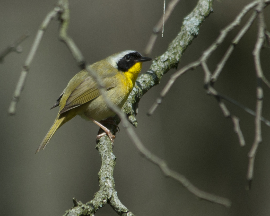 Common yellowthroat at Sourland Mtn, NJ
