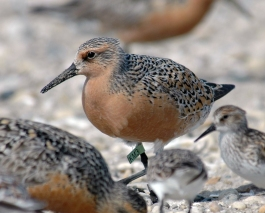 Endangered rufa red knot at Mispillion Harbor, Delaware. Credit: Gregory Breese/USFWS