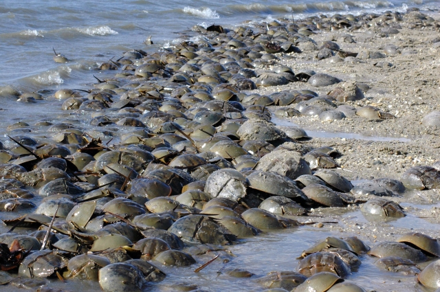 Horseshoe crabs spawning in Delaware Photo credit: Gregory Breese/USFWS