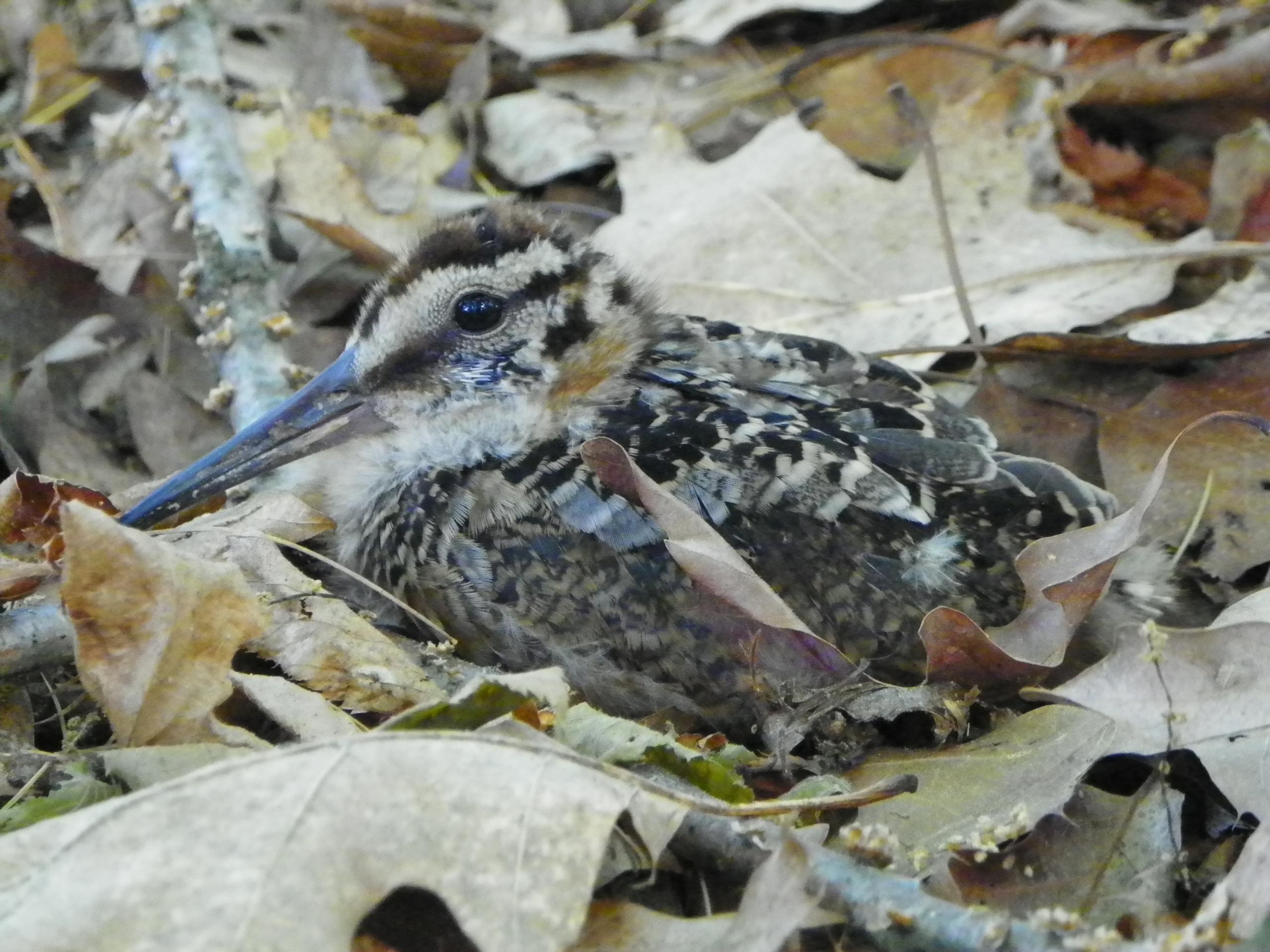 Am Woodcock on Nest