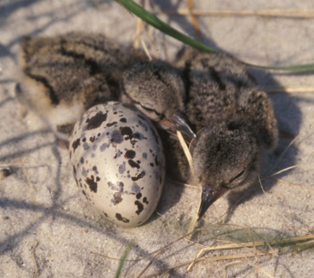oystercatcher chicks