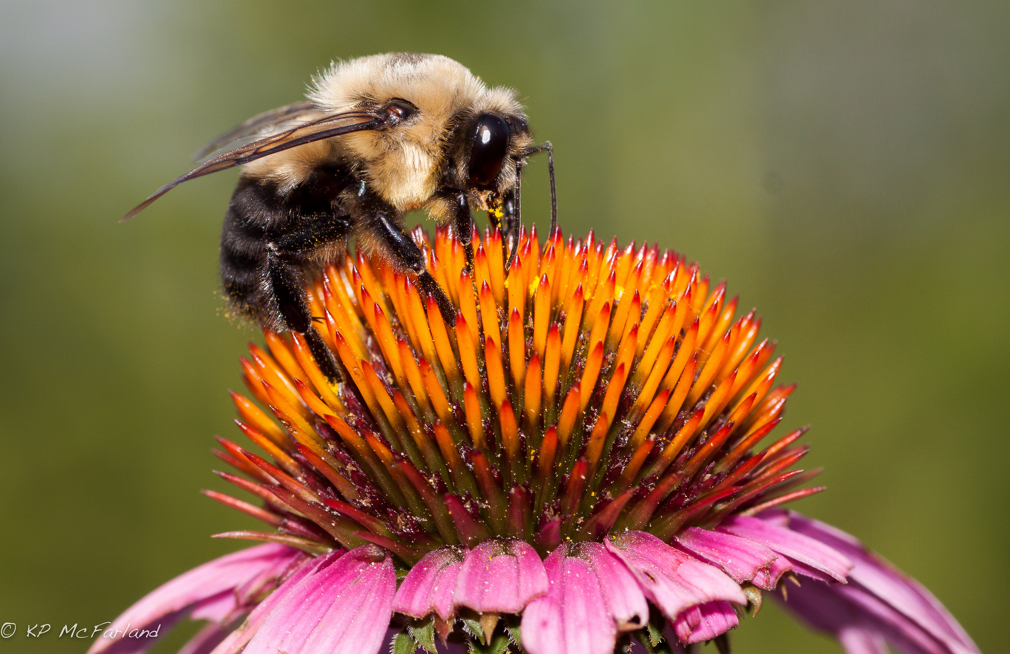 A male brown-belted bumble bee. Photo credit: Kent McFarland, Vermont Center for Ecostudies.