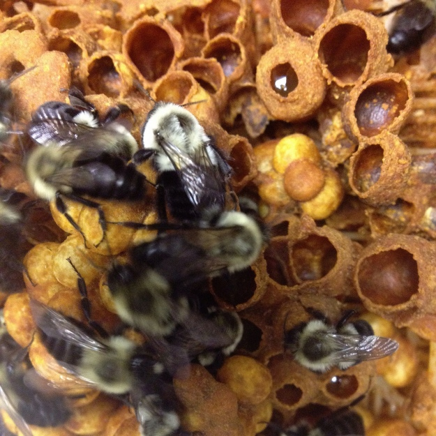 A common eastern bumble bee nest. Photo credit: Kent McFarland, Vermont Center for Ecostudies.