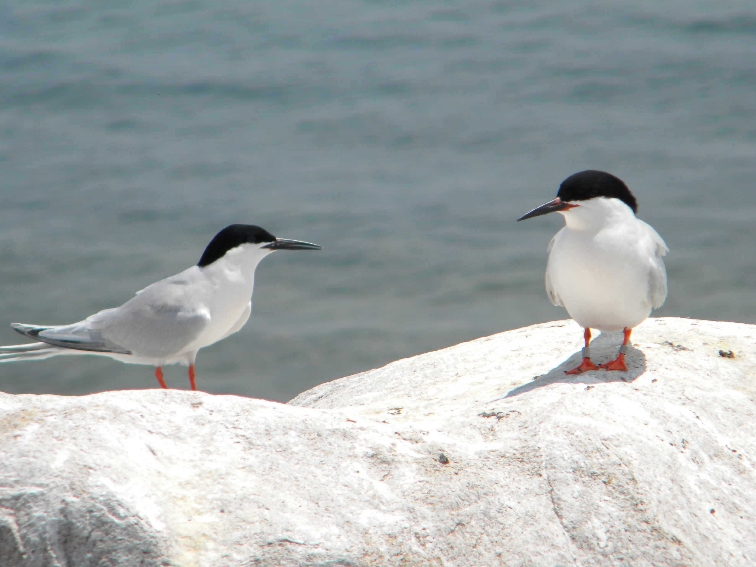 A pair of Roseate Terns on Gull Island, NY. Studies on Gull Island, in 1975, reported the hybridization of common terns and roseate terns. Similar crosses have not been documented since.  Photo Credit: Sarah Nystrom
