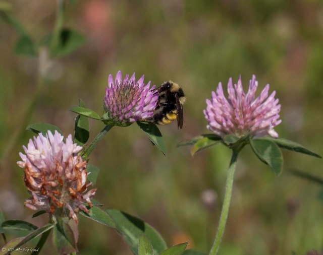A northern amber bumble bee nectaring on red clover. Photo credit: Kent McFarland, the Vermont Center for Ecostudies.