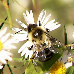 A bumble bee pollinating a flower.
