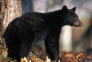 black-bear_FWS