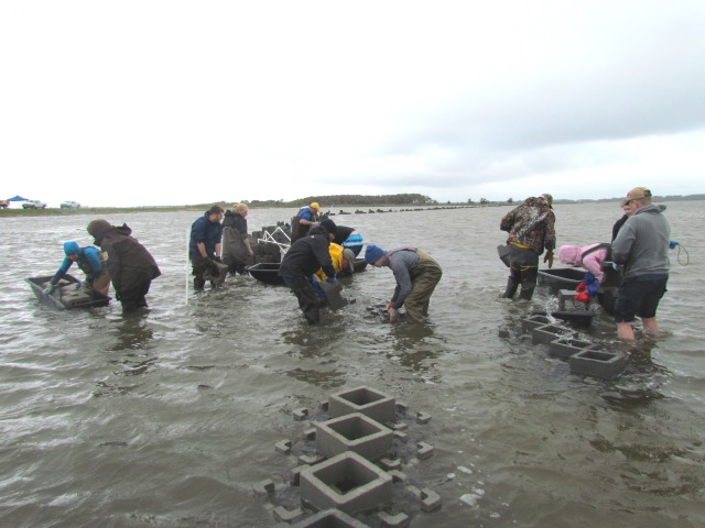 building oyster reefs at Chincoteague NWR