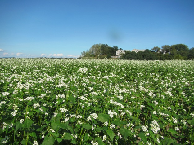 The buckwheat cover crop at the landfill after planting. Photo credit: USFWS