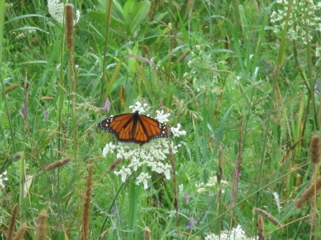 A monarch butterfly finds a buckwheat plant in the newly restored pollinator habitat. Photo credit: USFWS
