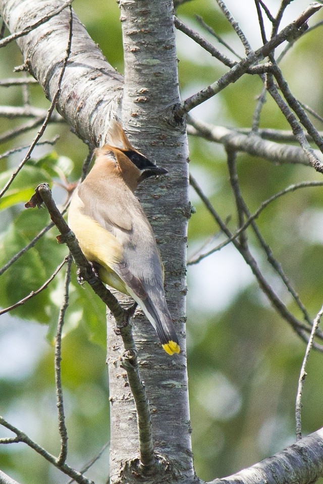 Cedar Waxwing. Photo by Steve Norris/USFWS