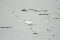 Banded piping plover on the refuge. Photo by Katrina Amaral/USFWS