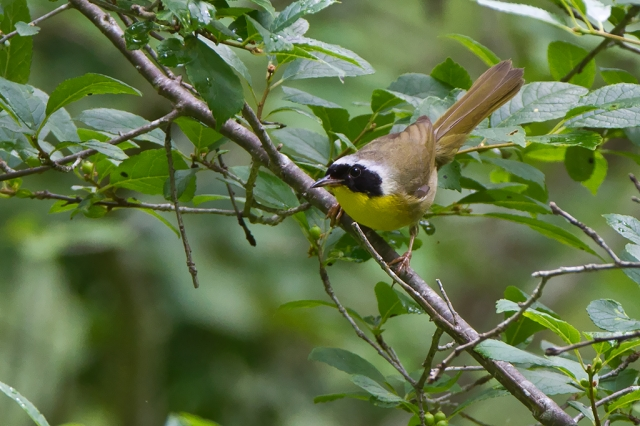 Common Yellowthroat. Photo by Steve Norris/USFWS