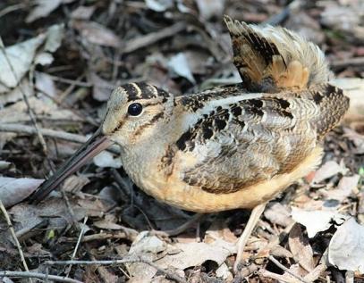 American woodcock (Scolopax minor) prefers early successional habitat. Photo Credit: USFWS