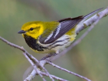 Black-throated green warbler (Setophaa virens) prefers Northern hardwood-conifer habitat. Photo Credit: Dan Pancamo