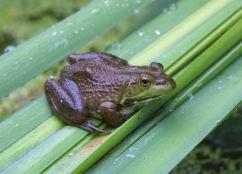 Bull frog Credit: Bill Buchanan