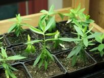 Young milkweed plants propagated by Errol Elementary students.