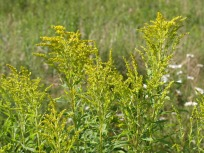 Goldenrod, a nectar source for monarch butterflies.