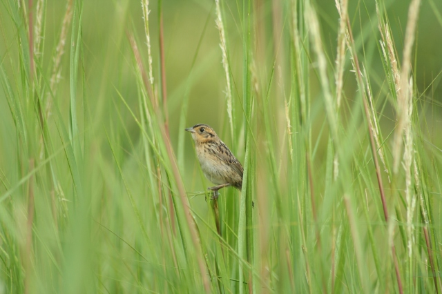 Saltmarsh sparrow fledgling