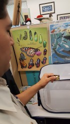 Learning about the monarch lifecycle.