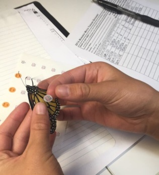 Tagging a monarch and recording its identification number.
