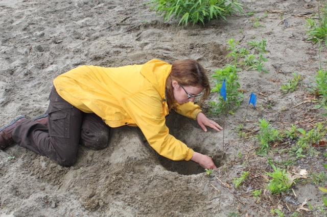 Larval tiger beetles are also predatory, but live in deep self-dug holes. Larvae can be translocated to establish new populations, and here they are being carefully dug out by Service employee Susan Wojtowicz. Photo credit: USFWS