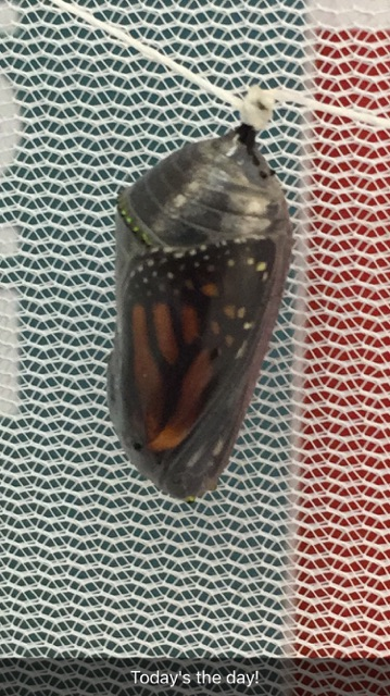 Only hours before the monarch emerges, you can see the black and orange wings.