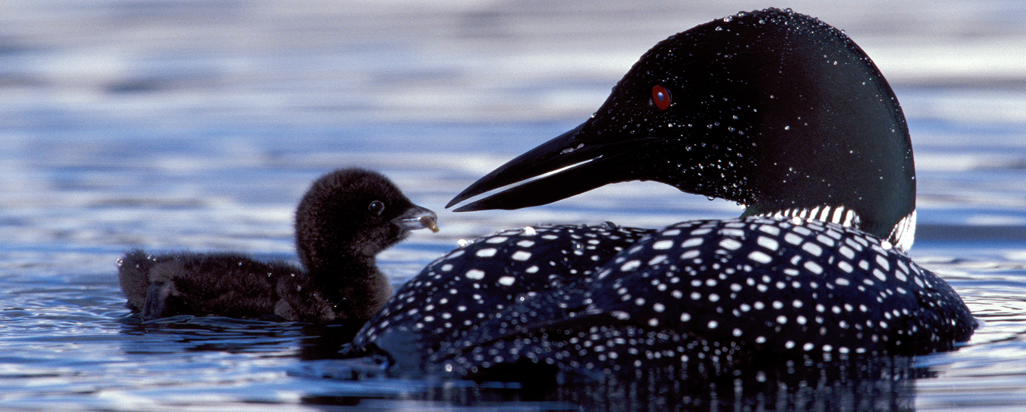 It's back to the future for loons in Massachusetts