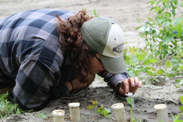Larvae will dig their new burrows under the protection of transport containers. Student Conservation Association intern Cathleen Johnson releases the larvae into their new habitat. Photo credit: USFWS