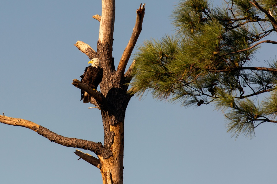 One of the most abundant populations of bald eagles makes their home in Blackwater NWR. Credit: Steve Droter