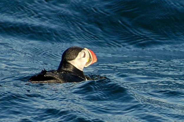 puffin_lighthart