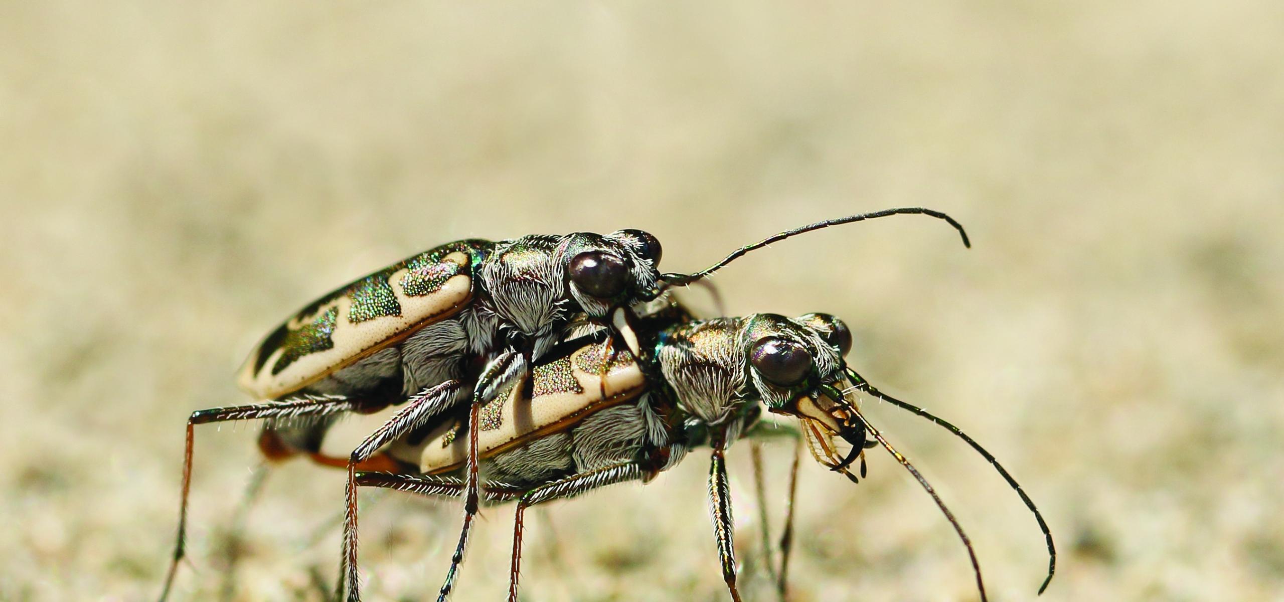 saving the puritan tiger beetle in connecticut u s fish and