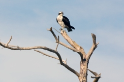 """An osprey, also known as """"fish hawk"""" perches above a snowy egret along Beach Access Road, directly across from Toms Cove visitor center. Credit: Steve Droter"""