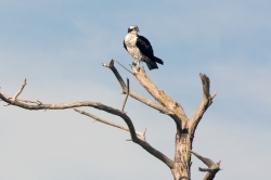 "An osprey, also known as ""fish hawk"" perches above a snowy egret along Beach Access Road, directly across from Toms Cove visitor center. Credit: Steve Droter"