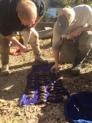 Mussels were separated by species and sex prior to release. Credit: Nick Millett/USFWS