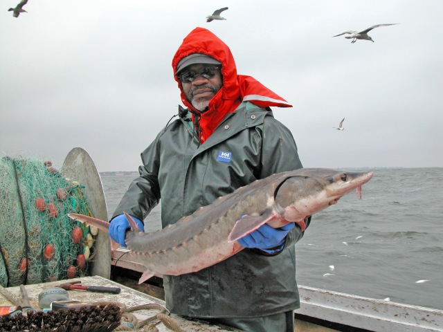 1-albert-spells-with-an-atlantic-sturgeon-caught-on-the-chesapeake-bay