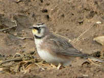 Horned Larks can be found during CBCs by checking out recently manured farm fields!- Photo by Jon Dale