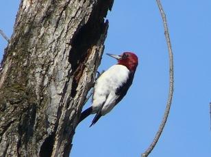 Red-headed Woodpecker- Photo by Jon Dale