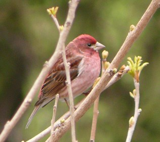 A beautiful Purple Finch- Photo by Jon Dale