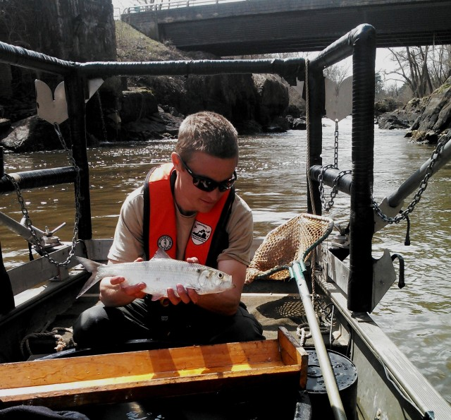 7-hickory-shad-found-upstream-in-the-appomattox-one-year-after-harvell-dam-removed-credit_robert-willis-vdgif