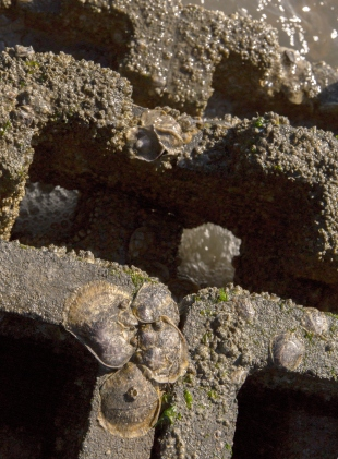 Oyster spat on oyster castle