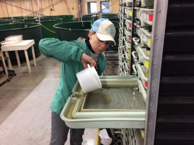avril-harder-purdue-laying-eggs-down-at-white-river-nfh-fall-2016-photo-usfws